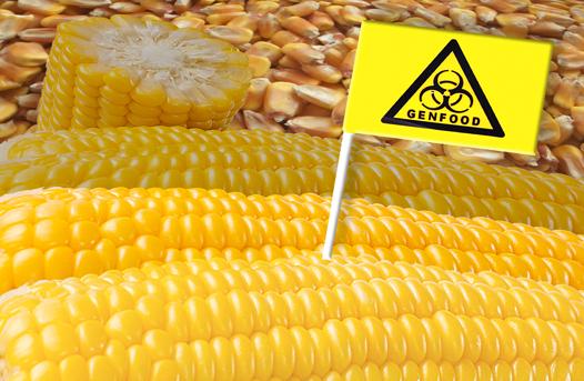 Kein gentechnisch veränderter Mais (Foto: PJSt)